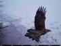Росомаха и орлан-белохвост попали на видео в Восточном Казахстане