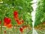 В Усть-Каменогорске вместо огурцов будут выращивать томаты